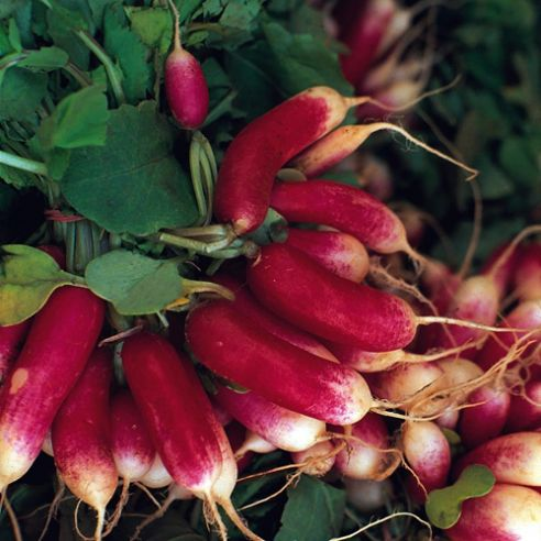 Radish French Breakfast - Appx 1100 Seeds